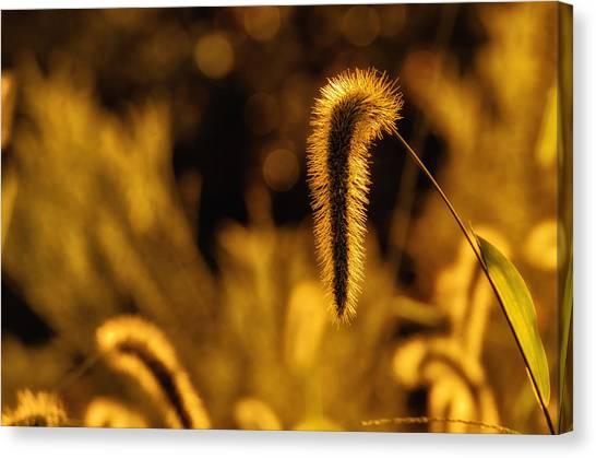 Grass In Golden Light Canvas Print