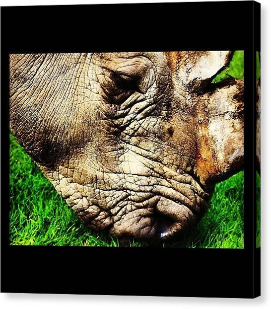 Rhinos Canvas Print - Grass Relaxes The Rhino #rhino by Chris Barber