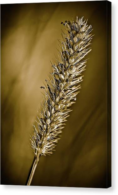 Grass Seedhead Canvas Print