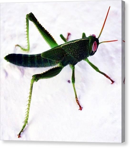 Grasshoppers Canvas Print - Grasshopper by Carlos Macia Perez