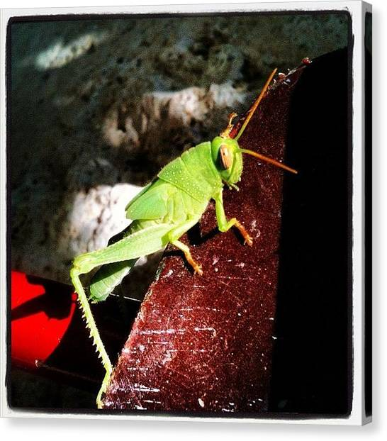 Grasshoppers Canvas Print - #grasshopper, #green, #insect, #summer by George sneyeper Vlachos