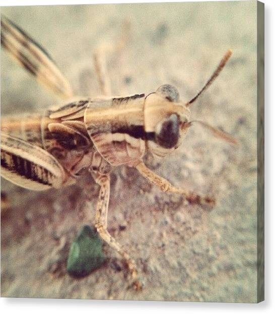 Grasshoppers Canvas Print - #grasshopper #hubinsects #instakids by Jen Flint