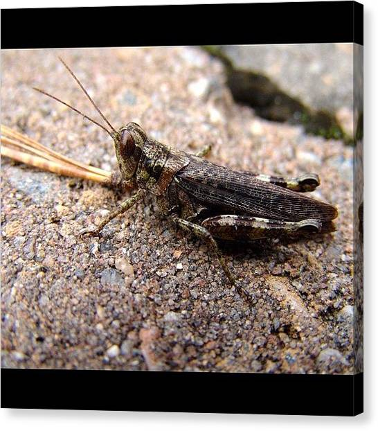 Grasshoppers Canvas Print - #grasshopper #unedited #untouched by Brian Smith
