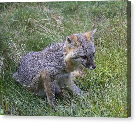 Gray Fox Canvas Print by Chuck Homler