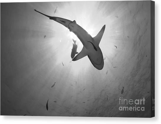 Kimbe Bay Canvas Print - Gray Reef Shark, Kimbe Bay, Papua New by Steve Jones