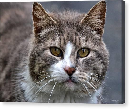 Gray Tabby Tux Cat Canvas Print