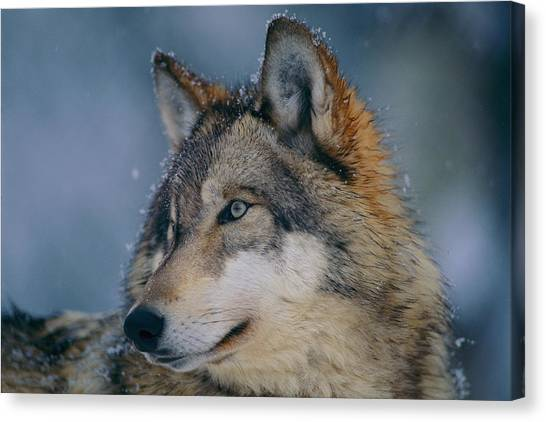 Minnesota Wild Canvas Print - Gray Wolf Canis Lupus by Joel Sartore