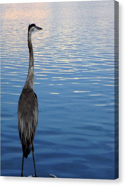 Great Blue Canvas Print by Christy Usilton