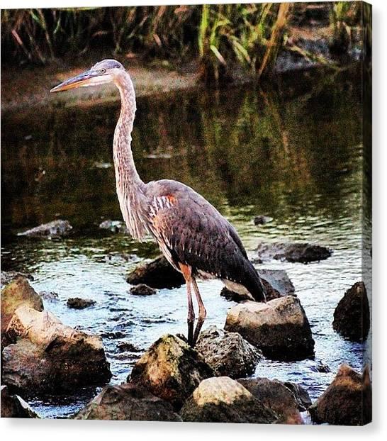 Herons Canvas Print - Great Blue Heron #heron #greatblueheron by Lisa Thomas