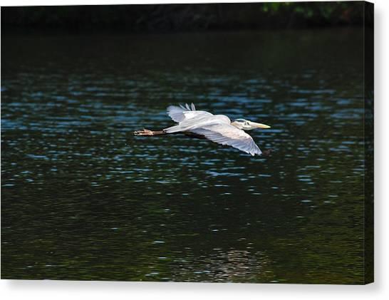 Great Blue Heron Illuminated Canvas Print