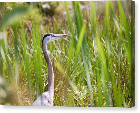 Great Blue Heron In Reeds Canvas Print