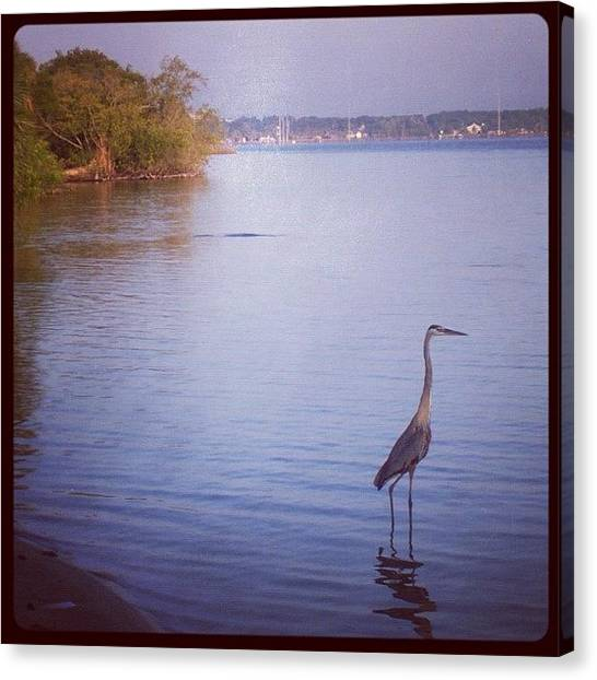 Indian Canvas Print - #great #blue #heron #indian #river by Michael Hughes