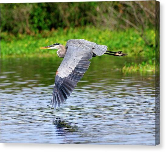 Great Blue Heron Inflight Canvas Print