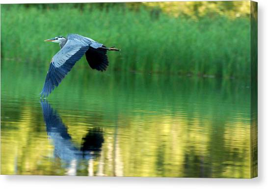 Great Blue Heron On Golden Pond Canvas Print