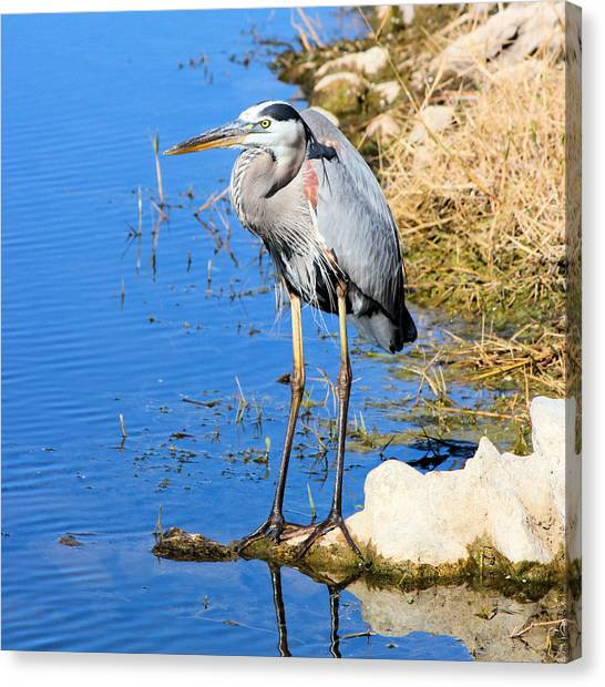 Great Blue Heron Resting Canvas Print by Suzie Banks
