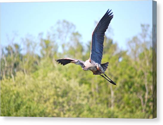Great Blue Heron Underbelly Canvas Print
