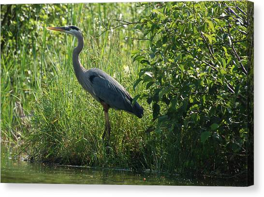Great Blue Heron Waiting To Eat Canvas Print