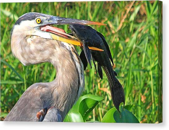 Great Blue Heron With Catfish Canvas Print