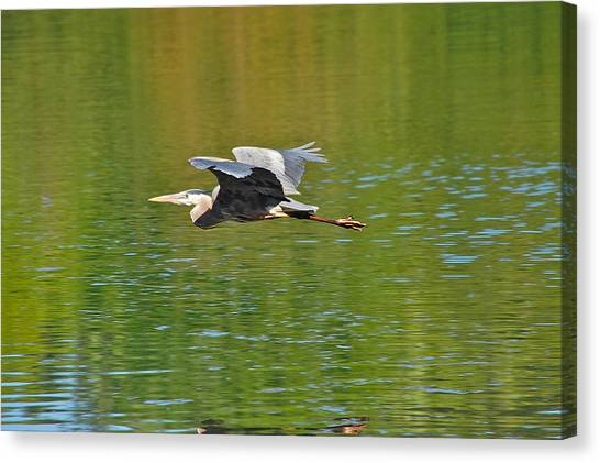 Great Blue Heron With Confidence Canvas Print