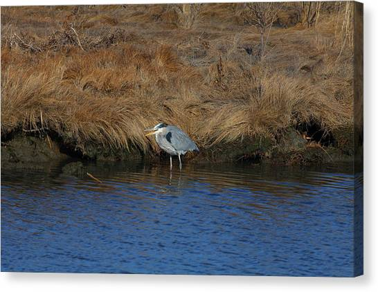 Great Blue Heron7 Canvas Print