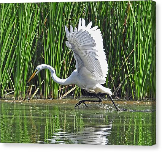 Great Egret   Ardea Alba  Running Start Canvas Print