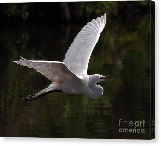 Great Egret Flying Canvas Print
