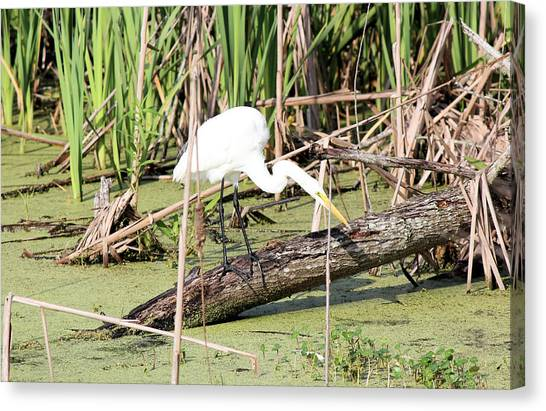 Great Egret Hunting Canvas Print by Suzie Banks