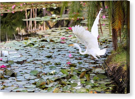 Great Egret In Flight Canvas Print by Suzie Banks