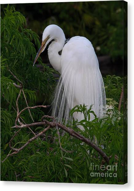 Great Egret Nesting Canvas Print