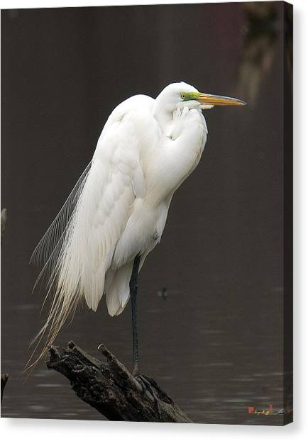 Great Egret Resting Dmsb0036 Canvas Print