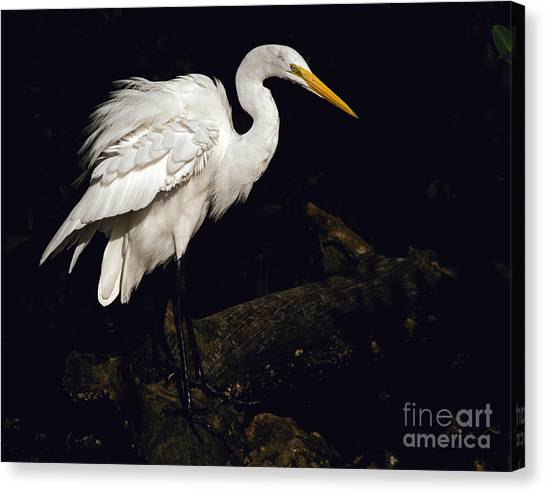 Great Egret Ruffles His Feathers Canvas Print