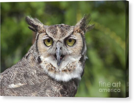 Great Horned Owl Canvas Print by Keith Kapple