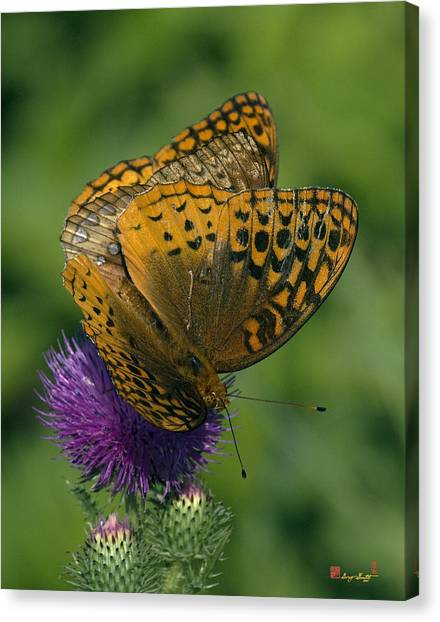 Great Spangled Fritillaries On Thistle Din108 Canvas Print