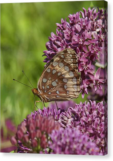 Great Spangled Fritillary Din194 Canvas Print