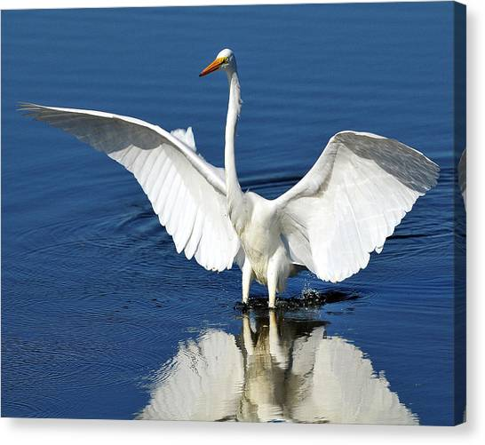 Great White Egret Spreading Its Wings Canvas Print