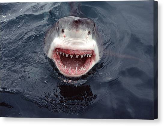 Shark Teeth Canvas Print - Great White Shark Smile Australia by Mike Parry