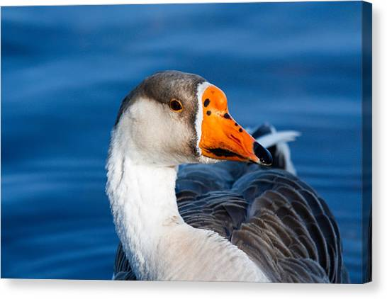 Greater White Frontal-goose Striking A Pose Canvas Print