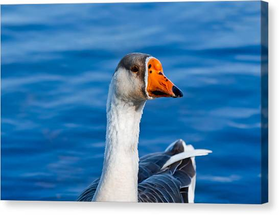 Greater White-fronted Goose Looking For A Mate Canvas Print
