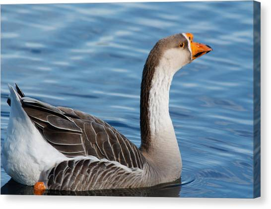 Greater White-fronted Goose Paddling Away Canvas Print