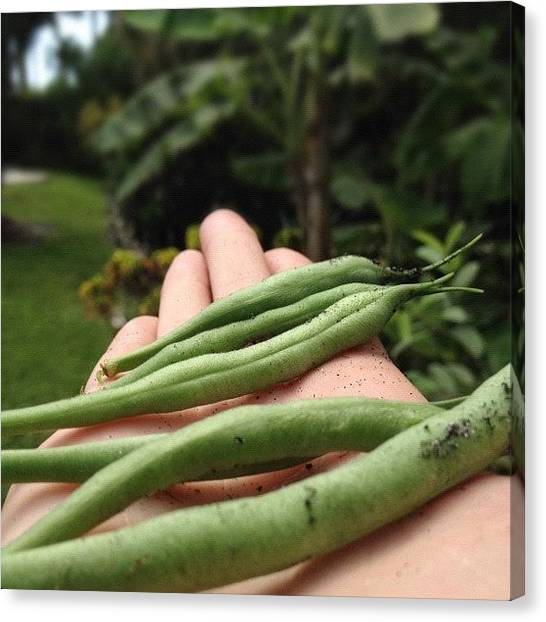 Healthy Canvas Print - Green Beans From My Moms Garden! by Emily W