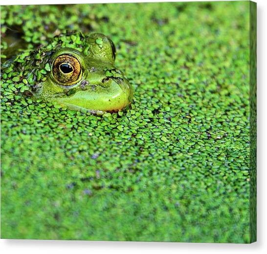 Frogs Canvas Print - Green Bullfrog In Pond by Patti White Photography
