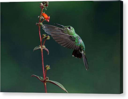 Green Crowned Brilliant Canvas Print