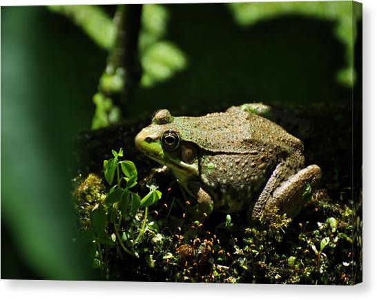 Green Frog Rana Clamitans Canvas Print
