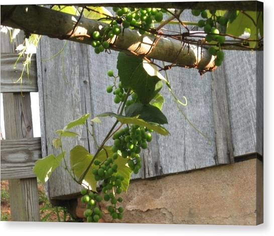 Green Grapes On Rusted Arbor Canvas Print