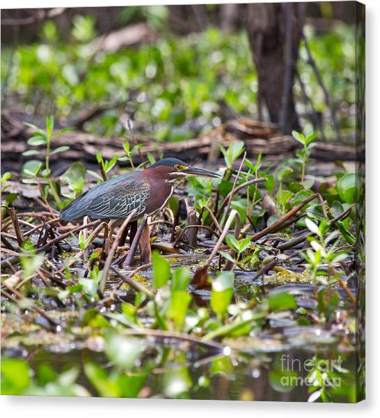 Atchafalaya Basin Canvas Print - Green Heron by Louise Heusinkveld