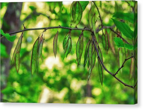 Green Redbud Seed Pods Canvas Print