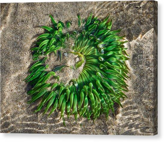 Green Sea Anemone Canvas Print