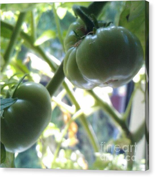 Vegetables Canvas Print - Green #tomatoes #instaprints by Abbie Shores
