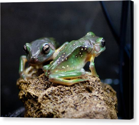 Green Tree Frogs Canvas Print