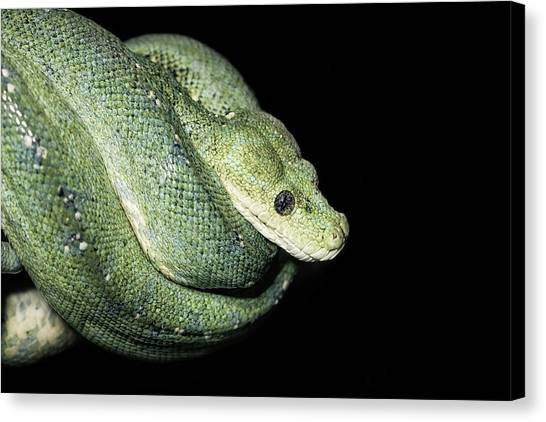 Pythons Canvas Print - Green Tree Python by Jonne Seijdel
